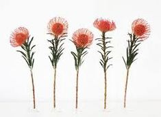 The Protea - Pincushion! Protea Art, Protea Flower, Botanical Art, Botanical Illustration, Australian Flowers, Journaling, Nature Sketch, Tattoo Set, Flower Tattoos