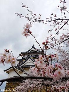 Sakura Cherry Blossoms in Season at Hikone Japan