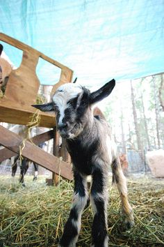 When I was a little girl my grandaddy always went and got me a little billy goat to play with.  They were so cute and it was so much fun to go to the barn!  Those were the days!
