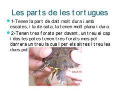 Les tortugues, Jan Montagut
