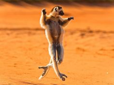 Verreaux's Sifaka, Madagascar.  Photo by Robyn Gianni