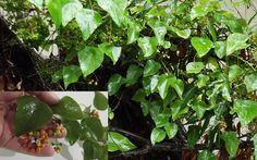 Snake Tape Vine Stephania Japonica Seeds