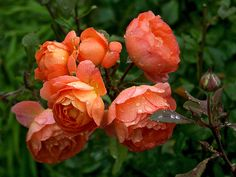 Lady Emma Hamilton English Rose - A deep orange, with yellow that makes it look like it's glowing, and a pink around old petals. GORGEOUS!