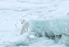 An Arctic fox checks its tracks while looking for food in this National Geographic Your Shot Photo of the Day. Ice Photo, Shot Photo, Hunting Art, Fox Hunting, Sea Turtle Images, Fog Images, Animals Beautiful, Cute Animals, California Winter