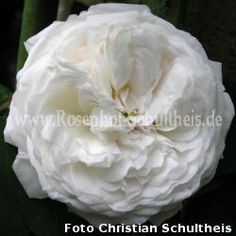 Weiss - Rambler - Kletterrosen - Rosen – Rosen online kaufen im Rosenhof Schultheis