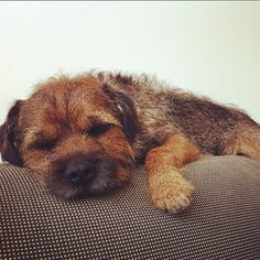 Border Terrier...love this breed.I've had two of these guys , they are the best!