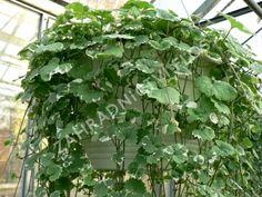 Popenec břečťanovitý 'Variegata' - Glechoma hederacea 'Variegata'   Zahradnictví FLOS Bali, Herbs, Garden, Plants, Garten, Lawn And Garden, Herb, Gardens, Plant