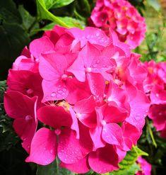 Toujours confiné !  #toujoursconfiné #amafenetre #flower #flowerstagram #hortensia #fleur #garden #jardin #saintgelais #igersdeuxsevres #igersfrance #igersniort  #etod79_79 #etod79_flower #etod79_spring Album, Instagram, Rose, Spring, Plants, Gardens, Flowers, Pink, Plant