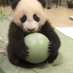 Niedlicher Panda, Panda Gif, Panda Funny, Panda Love, Cute Panda, Panda Video, Tiny Panda, Happy Panda, The Animals