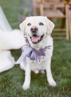 - Woodinville Lavender Farm Wedding Ideas by Pink Blossom Events (Design/Coordination) + Katie Parra Photography - via Grey likes weddings (Floral: Fena Flowers) Purple Wedding, Wedding Flowers, Spring Wedding, Wedding Dresses, Dog Wedding, Wedding Story, Dream Wedding, Retriever Puppy, Labrador Retrievers