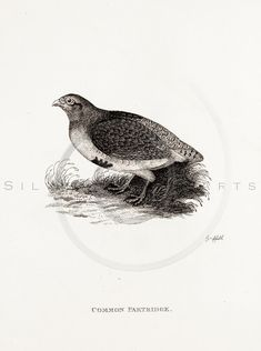 Vintage 1800s Sepia Illustration of Patridge Bird - GENERAL ZOOLOGY by George Shaw.