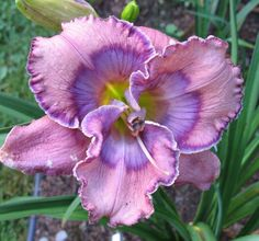 Day Lily--Texas Blue Eyes