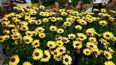Beautiful Blooms in Horkans #Galway! #garden #flowers #gardening