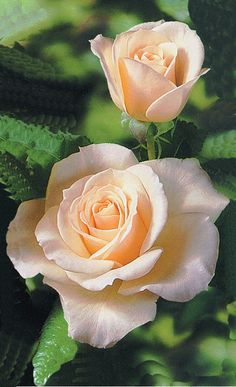 French Lace: Floribunda. Another favorite of mine. Beautiful flower, bush, leaves. This has it all.