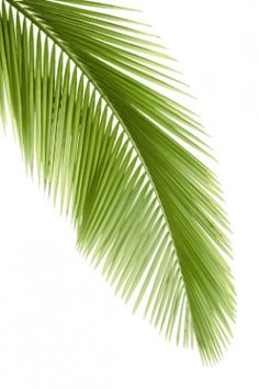 palm frond vector - Google Search