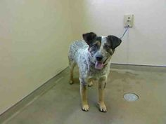 *BAILEY-ID#A711559    Shelter staff named me BAILEY.    I am a male, tricolor Australian Shepherd.    The shelter staff think I am about 1 year old.    I have been at the shelter since Apr 22, 2013.