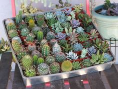 Keep Pests Off Cacti and Succulents: Mealybugs and scale are particularly attracted to cacti and succulents. They can injure and even kill them by feeding on their juice...