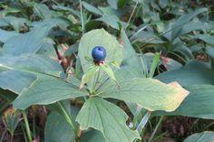 Ussilakk (Paris quadrifolia) ussimari, hooramari, hundimari, kihvtimari, rabanduserohi, sinisevilirohi, villimari