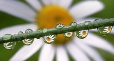Daisies reflected in dewdrops