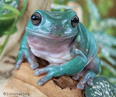Australian Blue Tree Frog | white s tree frog litoria caerulea australia kermit what a frog a very .In my favorite color...