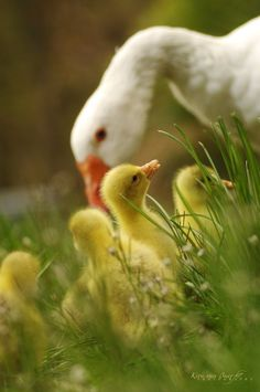 Spring is in the air - Goose and Goslingsby Kira van Buer