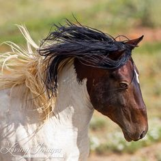This powerful pinto stallion's name is Warbonnet, and here he is running from another stallion in the McCullough Peaks Herd Area. He is a small stallion but he is mighty! Photo by Carol Walker
