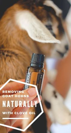 Can you actually stop horn growth with clove oil? This is crazy interesting!!