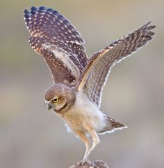 Wrong type of owl but I like the position where you can see both wings. I'd prefer mine to be in flight so wings a little lower, legs in more? Also facing a little more towards the front.
