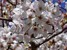 """Viaggi con ricordi: HANAMI: i """"sakura"""" fioriti al Lago dell'Eur di Rom..."""