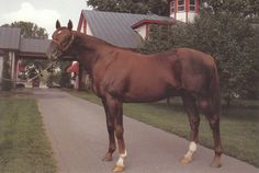 Alydar as a stallion at Calumet Farm