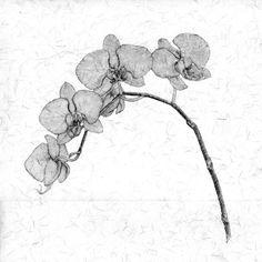 drawing an orchid Petruska Mary