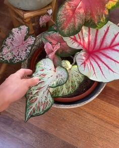 Gorgeous! Unique Plants, Exotic Plants, Cool Plants, Tropical Plants, Caladium Garden, Calathea Plant, Garden Plants, Hanging Plants Outdoor, Indoor Plants