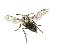 Learn about Bald Faced Hornets including how to identify them by appearance, habitat and diet, as well as control options suitable for the Bald Faced Hornet. Insect Species, Bloomfield Hills, Vector Clipart, Gremlins, Photo Online, Wasp, Hornet, Pencil Drawings, 3 D