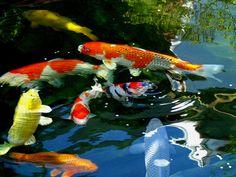 Koi Painting, Koi Fish Tattoo, Japanese Koi, Animal Drawings, Drawing Animals, Goldfish, Painting Inspiration, Wildlife, Cute
