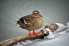 """QUESTION OF THE DAY from The Old Farmer's Almanac: What do ducks do in the rain?  Ducks just love rain. They are quite happy to stay out in it, and they often preen their feathers and poke around in puddles. (The British refer to a rainy day as """"a lovely day for ducks."""") They don't even seem to mind snow or sleet, but they dislike cold and windy weather.  Photo Credit: Teresa G. Waugh"""