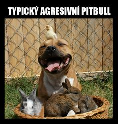 Funny pictures about A typical pit bull. Oh, and cool pics about A typical pit bull. Also, A typical pit bull. Happy Animals, Funny Animals, Cute Animals, Smiling Animals, Animals Dog, Pit Bulls, I Love Dogs, Cute Dogs, Awesome Dogs