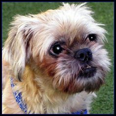 Otis is a 9 yr old, neutered , male Brussels Griffon fostered in Los Angeles. He has diabetes and is completely blind, so it takes him a little while to acclimate to new environments. He's a quick learner and within a few days he will be able to navigate his way through your home. Otis is on insulin and has been for a couple of years. He requires 2 shots per day, one with each meal. Aside from requiring a little extra care, Otis is like any other sweet, friendly dog. He just wants to be…