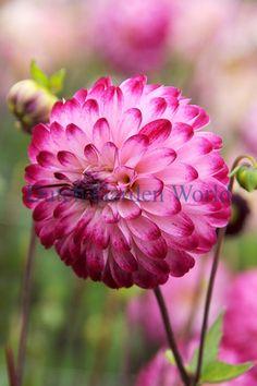 Dahlia Little Robert - Dutch Garden World