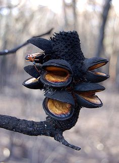 (Banksia, after forest fire. The fire's heat is necessary to open its seedpods, at the same time allowing them to fall onto newly fertilized soil due to carbon from ash.)