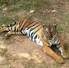 Will this female #tiger bring cubs to the Little Rock Zoo?
