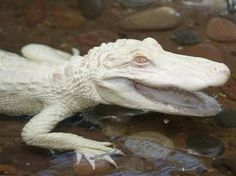 Albino gators are very rare and are mainly found in zoos. They are very sensitive to light.