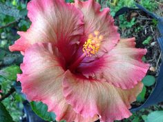 Hibiscus Rosa Sinensis, Tropical Flowers, Orchids, Gardens, Plants, Beauty, Design, Hibiscus, Charms