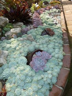 Succulent Gardening Archives - Succulent border – Massed Echeveria elegans with pots of what looks like Echeveria Perle von Nurnberg by marcy Succulent Gardening, Cacti And Succulents, Planting Succulents, Garden Plants, Planting Flowers, Garden Beds, Garden Bedroom, Succulent Ideas, Succulent Landscaping