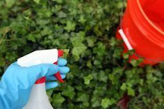 How To Get Rid Of Ivy With White Vinegar Kill Poison Ivy Poison
