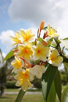Plumeria Aztec Gold - Aloha Kakou Hoaloha ~ may there be love between us friends! Flowers & Gardens Loved these!