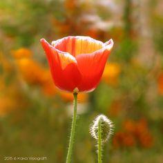 Glory of Saffron