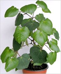 Kawakawa - the leaf of a New Zealand tree has MANY health benefits! Such as purifying the blood and helping with sore throats. Garden Oasis, Herb Garden, Garden Plants, Indoor Plants, House Plants, Pot Plants, Modern Fence Design, Office Plants, Edible Flowers