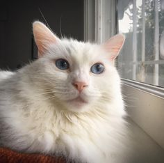 Snowball: the bluest eyes and the pinkest nose  _______________________>..<_______________________  MARK YOUR CALENDARS: House of Dreams will be holding it's annual Spring Plant Sale and Vegan Bake Sale April 15 from 10-3 at 7634 SE Morrison! Indoor plant