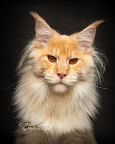 Pretty Cats, Beautiful Cats, I Love Cats, Cool Cats, Long Cat, Maine Coon Kittens, Cat Aesthetic, Cat Photography, Warrior Cats