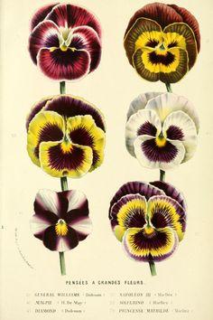 Varieties of Pansies (General Williams, Napolean III, Magpie,...
